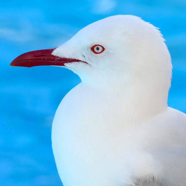 THE MIGHTY SEAGULL
