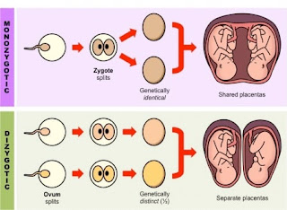 science behind the birth of twin babies
