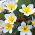 Penasaran Kenapa Aku Jadi Anggota Yayasan Bunga Kemboja? Apa Manfaatnya?