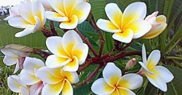 Nurul Sufitri S Blog Penasaran Kenapa Aku Jadi Anggota Yayasan Bunga Kemboja Apa Manfaatnya