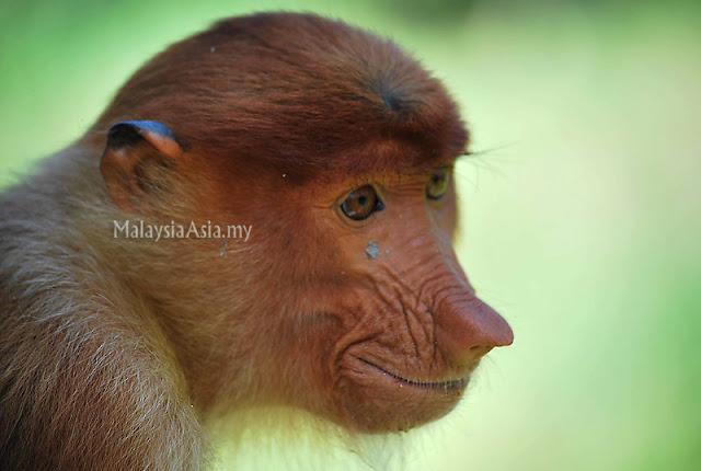 Proboscis Monkey Picture in Sabah