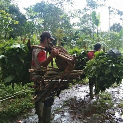 petani daun pohpohan sumber pangan dari hutan