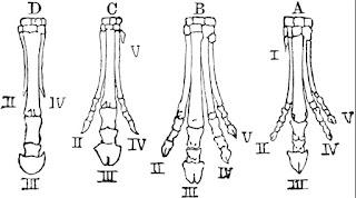 gambar tulang kaki dari evolusi fosil kuda