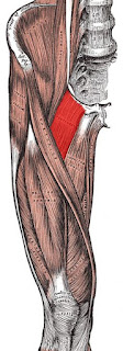 pectineus muscle, anatomy, muscle picture