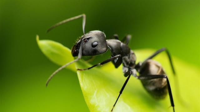 Mengambil Ibrah dari Semut Hitam, Tak Cuma Bergotong Royong, Tapi ini Fakta Unik Semut