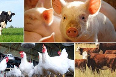 Sự kết hợp axit hữu cơ (OA) và axit béo mạch trung bình (MCFA)  Livestock-photo