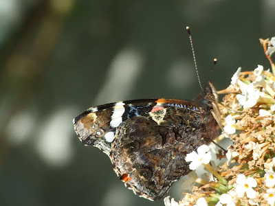 Underside of a Red Admiral