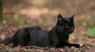 cat Felix domesticus