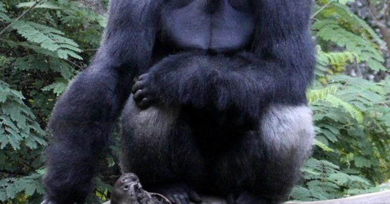 I Gorilla prossimi all'estinzione