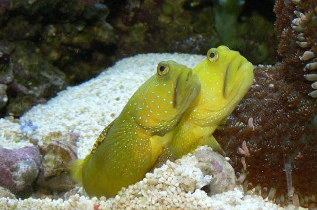 Dunia Ikan Hias - Watchman Gobies
