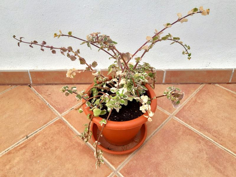 La mia pianta dell'incenso - 17 maggio 2020