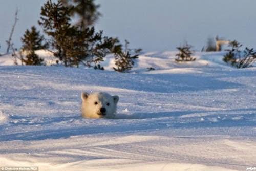 لحظة خروج دب قطبي دفن نفسه 8 أيام وسط الجليد 26284_87187.jpg