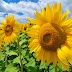 Cara Budidaya Bunga Matahari yang Baik dan Benar