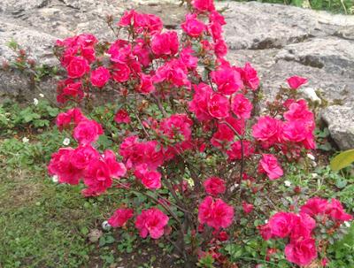 azalea doble rosa fuerte
