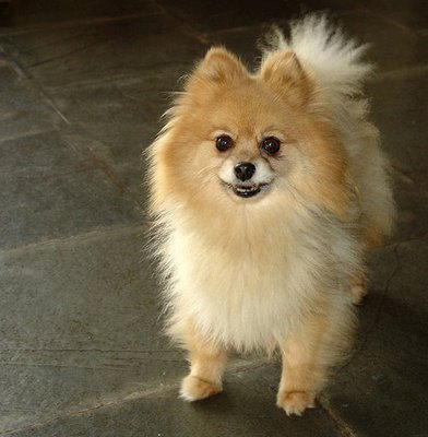 pomeranian coughing breeds dog pomeranian dogs health 8186