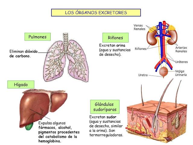 Medicamentos aceleradores de metabolismo
