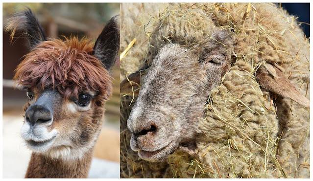 Альпака и овечка