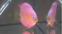 Ikan Hias Air Tawar Termahal  Red Spot green