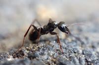 Mettez un peu d'huile de menthe poivrée dans les zones fréquentées par les fourmis