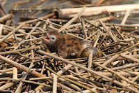 Black tern chick with 'eggmates' St. Clair Flats, ON - by Caleb Putnam