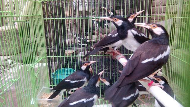 Untuk merawat burung jalak suren trotolan ini perlu perhatian yang khusus terutama burung  Agar Jalak Suren Trotolan Makan Sendiri