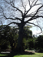 Kapok tree, Foster Botanical Garden - Honolulu, HI