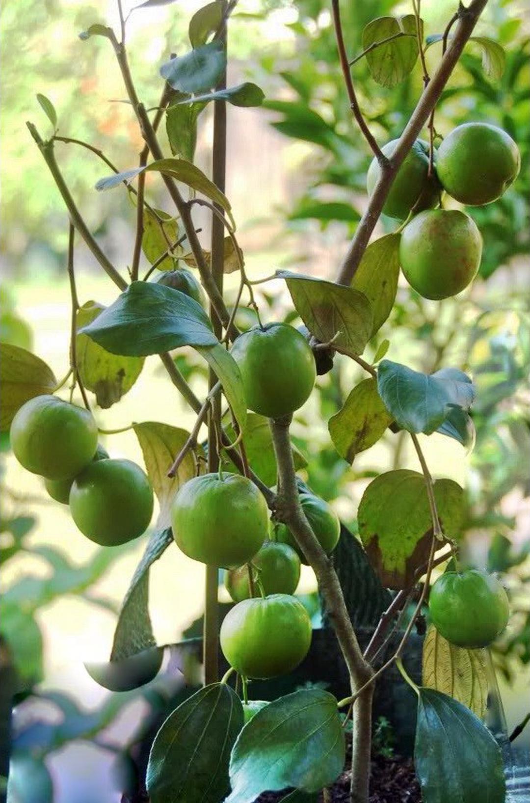 Jaminan Mutu! bibit Tanaman buah Apel India PUTSA super murah Kota Malang #bibit