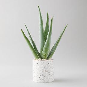 Aloe Vera (Aloe barbadensis miller) in a white speckled pot.