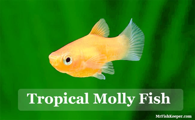 Breed Molly Fish For Profit