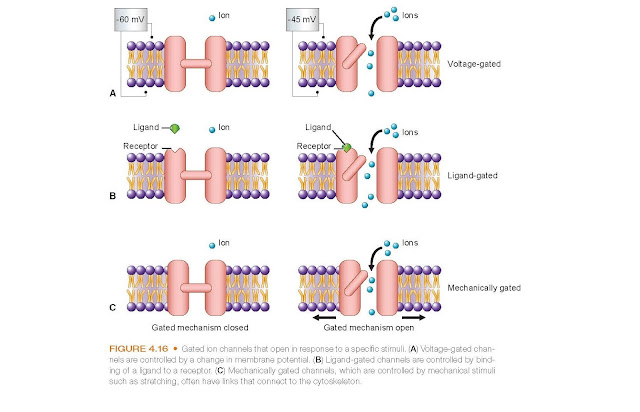 Gated ion channels that open in response to a specific stimuli