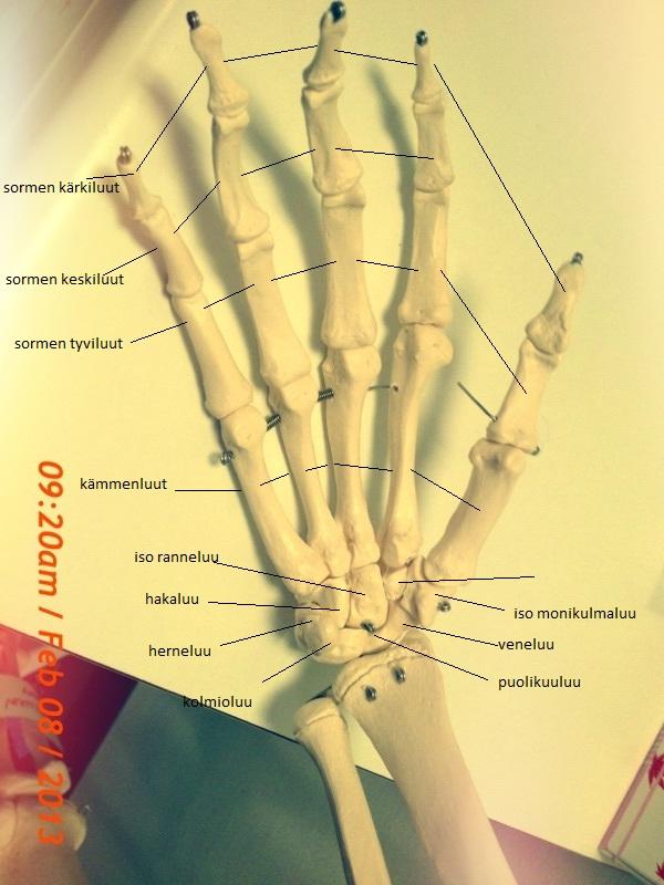 Käsivarren Luut