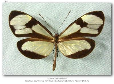 Mariposa diáfana (Epityches eupompe)