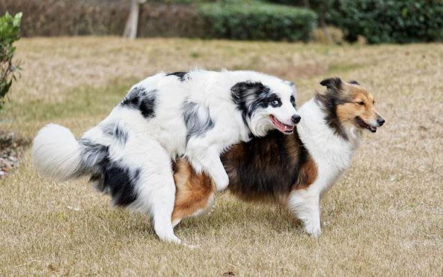 Điều trị chó bị vô sinh do nhiễm khuẩn Brucella Canis
