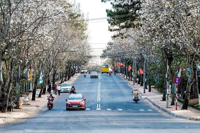 Tháng 1 hoa ban nở trắng trời Đà Lạt đẹp tựa như trong tranh