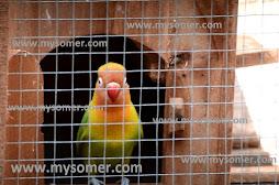 https://www.mysomer.com/2020/02/bolehkan-lovebird-yang-di-ternak-di-mandikan.html