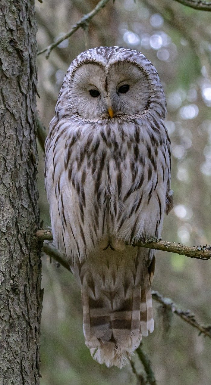 Ural owl on a tree branch.