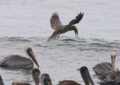 Brown Pelican (Pelecanus occidentalis) and Brown Booby (Sula leucogaster)