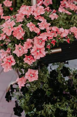 Petunia as Hanging plant