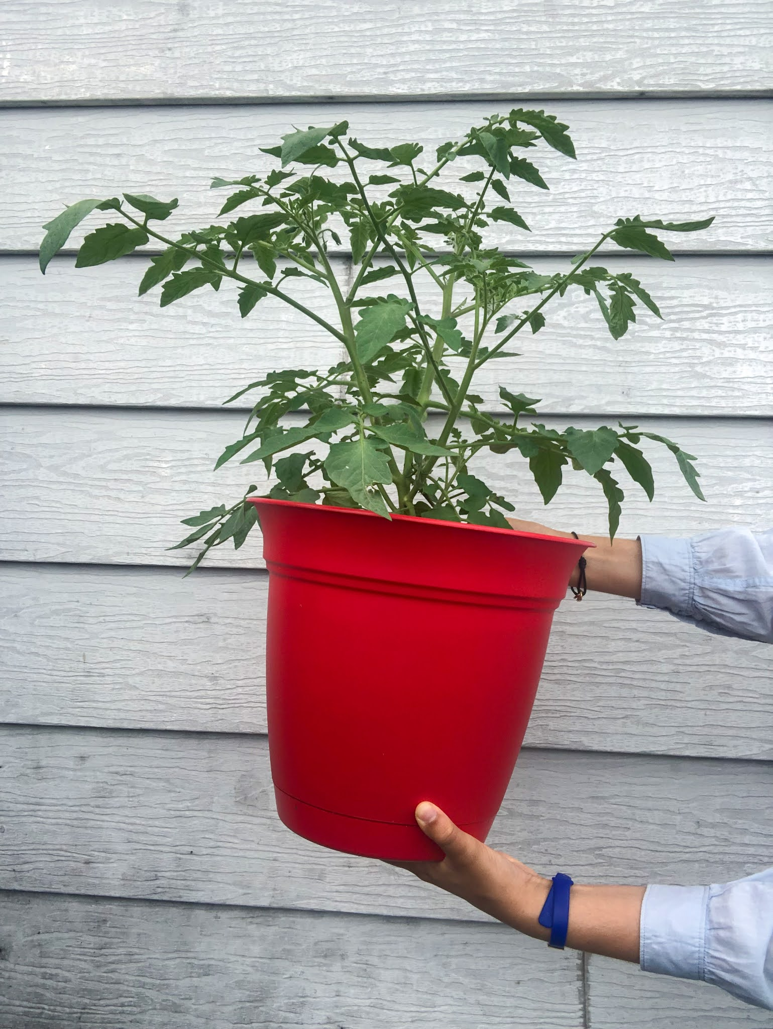 Me holding a red pot of tomato plant
