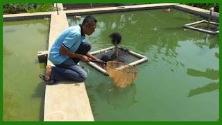 Potensi Bisnis Menjanjikan dalam Budidaya Ikan Gurame