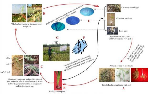 daur penyakit antraknos melintir bawang merah