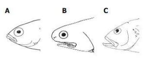 Anatomi Mulut dan Gigi Pada Ikan