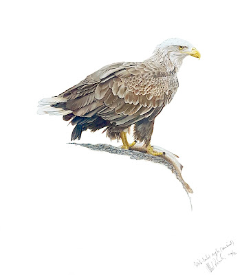 White-tailed eagle painted by Mel Roberts
