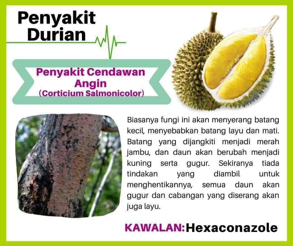 Berita TV Malaysia: Durian kampung vs Durian kawin