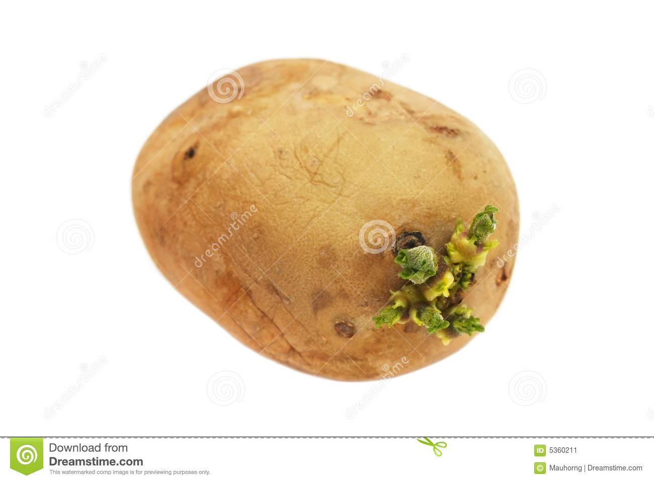 Keimende Kartoffel Essbar