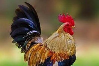 Harga Ayam Serama Terbaru 2018
