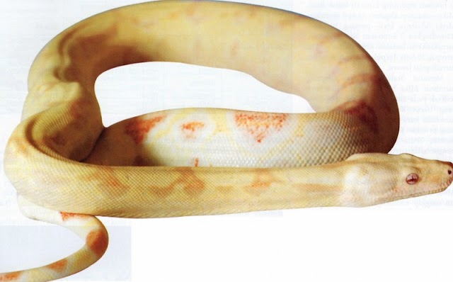 Breeding Silangan Boa Constrictor Imperator Albino 30 Juta Perekor