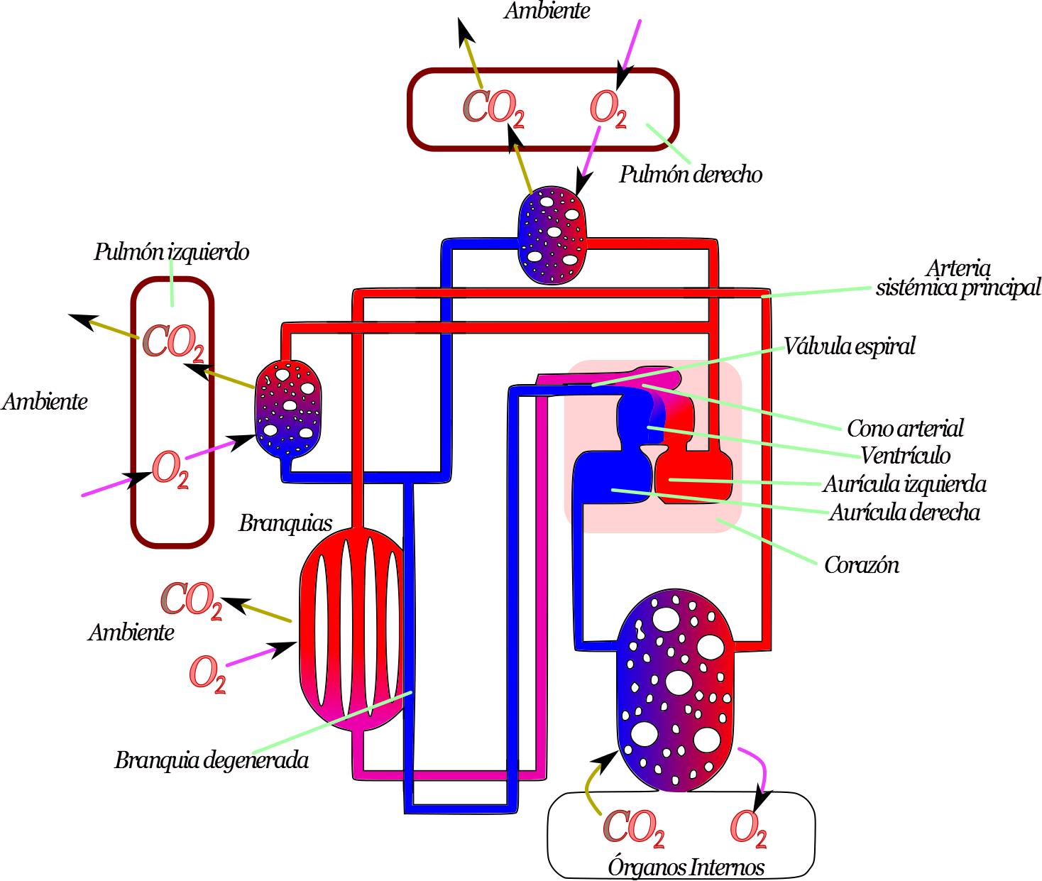 Ciencias de Joseleg: 12 ARQUITECTURAS DEL SISTEMA CIRCULATORIO
