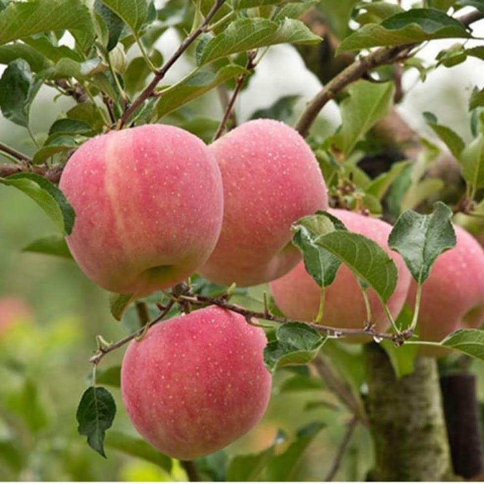 bibit apel fuji Maluku
