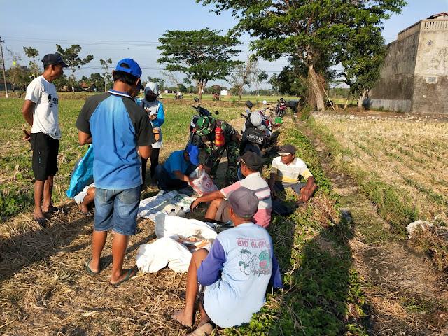 Gerakan pengendalian hama tikus di plosowangi bersama Babinsa dan PPL Cawas